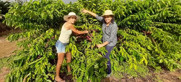 Nova Santa Helena se destaca na produção de café
